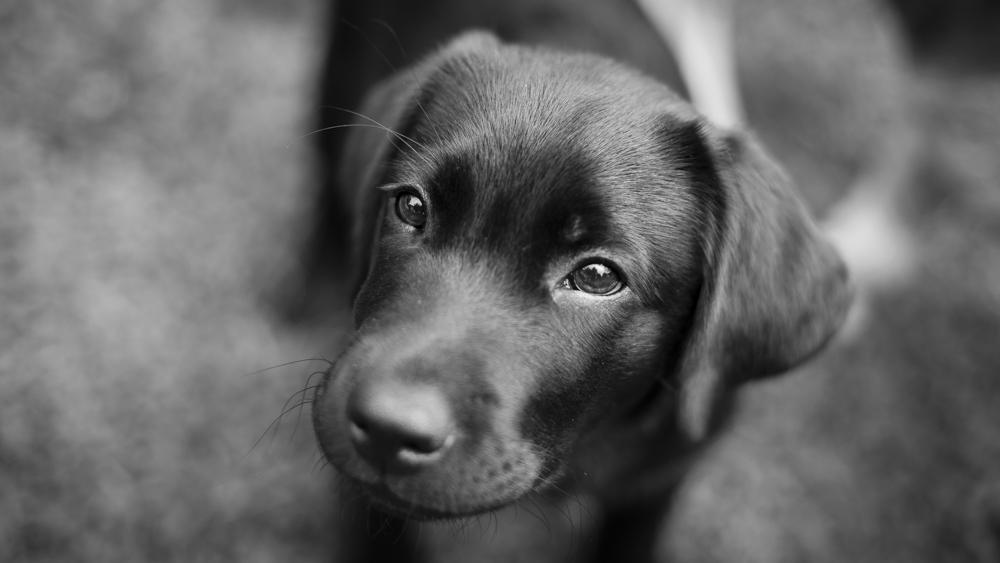 Labrador Vom Rosa Schlossl Labrador Retriever Zuchtstatte Im